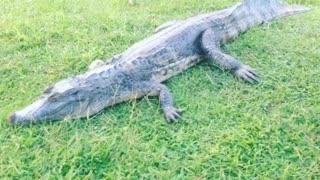 crocodile - Guyane française 🇬🇫