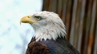 The Giant Bald Eagle