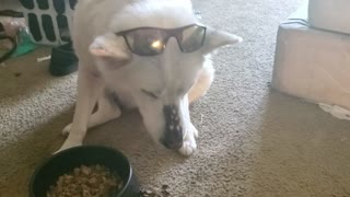Blind Siberian Husky eats her food with Style