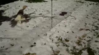 6 mo old Australian Shepherd puppy's first snow!