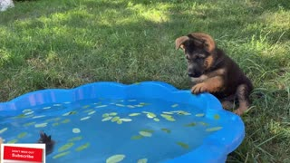 German Shepherd Puppy Meets Baby Duckling for the First Time!