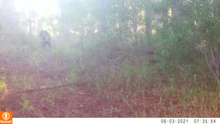 Bear and Coyote Hanging out Together in the Woods