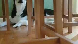 Stubborn husky hides and yells at owner