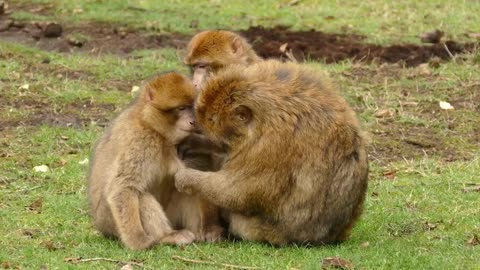 Barbary monkeys take care of their baby