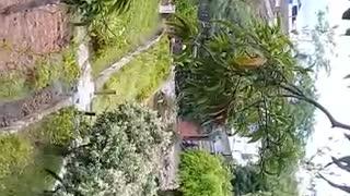 Joven sube a un árbol para evitar su tala en Floridablanca