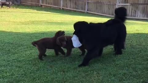 Giant dog chased by puppies!