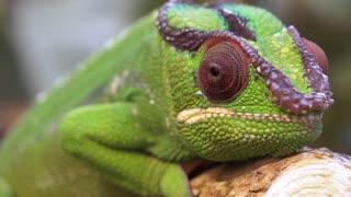 Chameleon camouflage