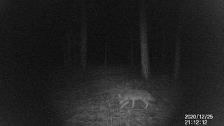 Coyote in central oregon