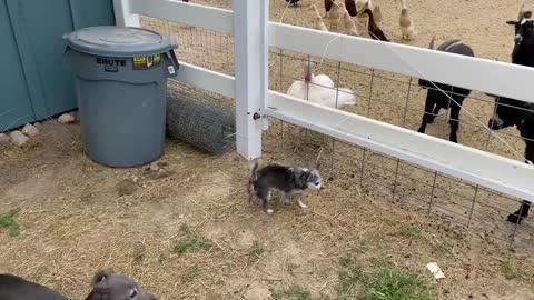 Our Italian Greyhound takes on Tom The Turkey