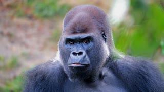 Watch the gorilla