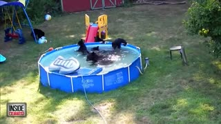 Little Girl Watches A Family of Bears In Her Swimming Pool