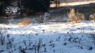 Lucky Man Encounters a Large Wolf Pack