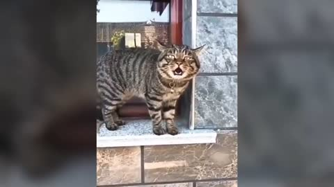 Cats talking - these cats can speak english better than human