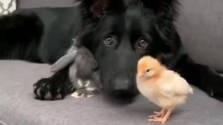 Dog, rabbit and chicken playing around