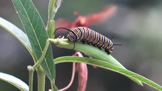 Executioner Wasp Preys on Caterpillar