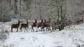 Group of deers enjoying their winter