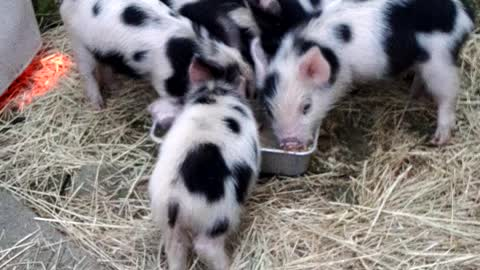 Piglets outside