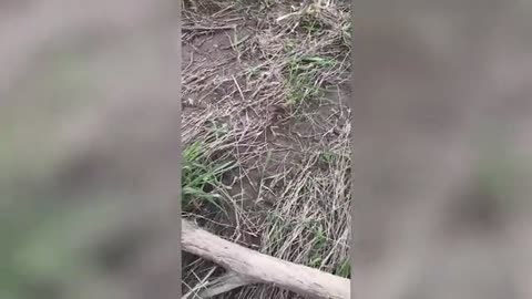 A little Jack Russell Terrier crosses the river