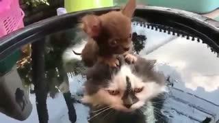 Puppy saddled a cat