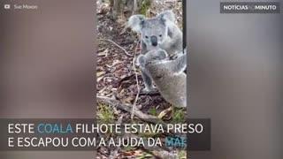 Mamãe coala salva filhote em um momento de muito amor