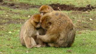Monkey family 2.