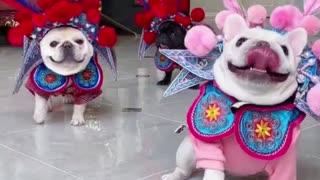 3 Dogs Performing Beijing Opera, Super Cute!