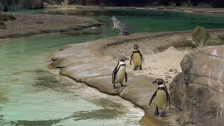 penguins wanting to show themselves to the cameras