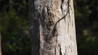 Painted Bronzeback Tree Snake Snacks on a Frog