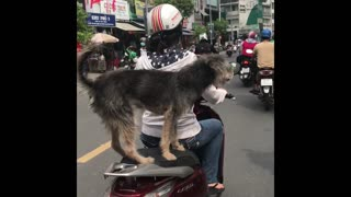 Funny Puppy video! He tries to balance on motorbike's back seat