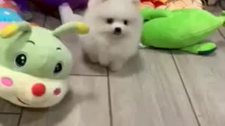 Pomeranian pom pom spitz nain