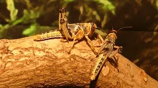 Two Grasshopper