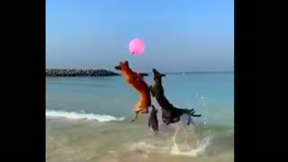 Dogs can play with balloons