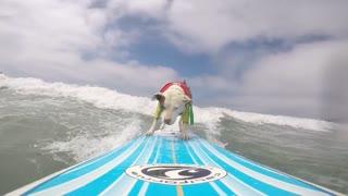 Pitbull Surfs the California Coast