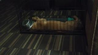Golden Retriever puppy is definitely sleeping off a food coma