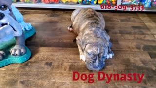 Female Olde English Bulldogge
