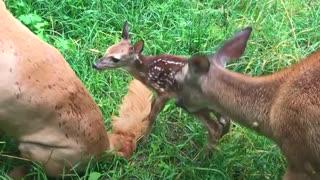 Golden retriever's been best friends with this deer for 11 years