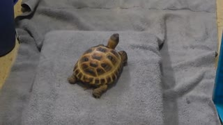 Pet turtle loves to watch cooking shows on TV
