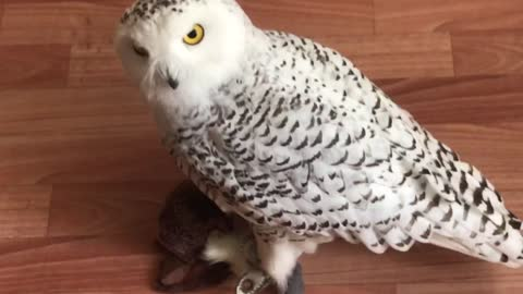 Snowy owl and toy