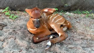 Endangered Eastern Bongo Born at ZooTampa at Lowry Park