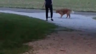 Owner Stops Meeting Between Squirrel and Retriever