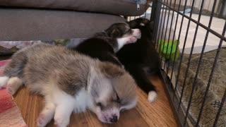 Beauty Puppy dogs