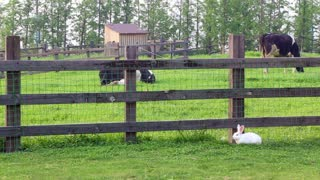 Watch how the wild rabbit sits near the farm fence in the spring with cows Fun too