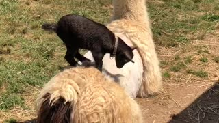 Lamb Has a Hard Time Staying on Freshly Shaved Llama