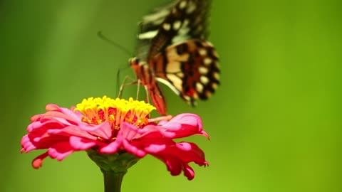 Honey butterfly