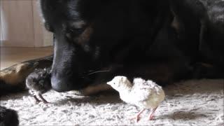 German Shepherd greets newborn turkey chicks