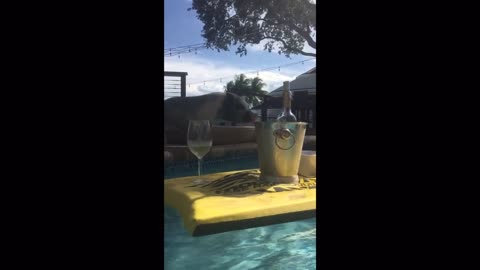 Ginger the Mini Pig falls in the pool