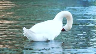 beautiful swan away from Politics