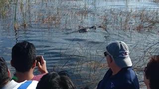 Oh alligator!