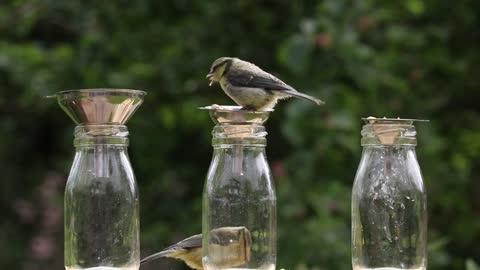 Watch how they play and eat goldfinch around food bottles on the edge of the forest