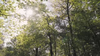 Huge trees in a large green forest